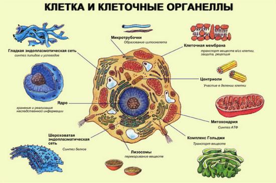 Схемы органоидов клеток