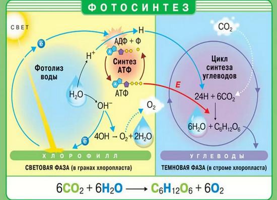 Темновая фаза фотосинтеза
